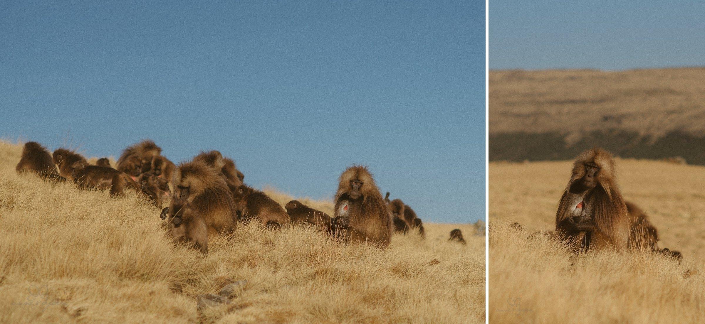 Gelada Monkey, Monkey, Affen, Blutbrustpaviane, Gruppe, Berg, Simien Mountains, Berglandschaft