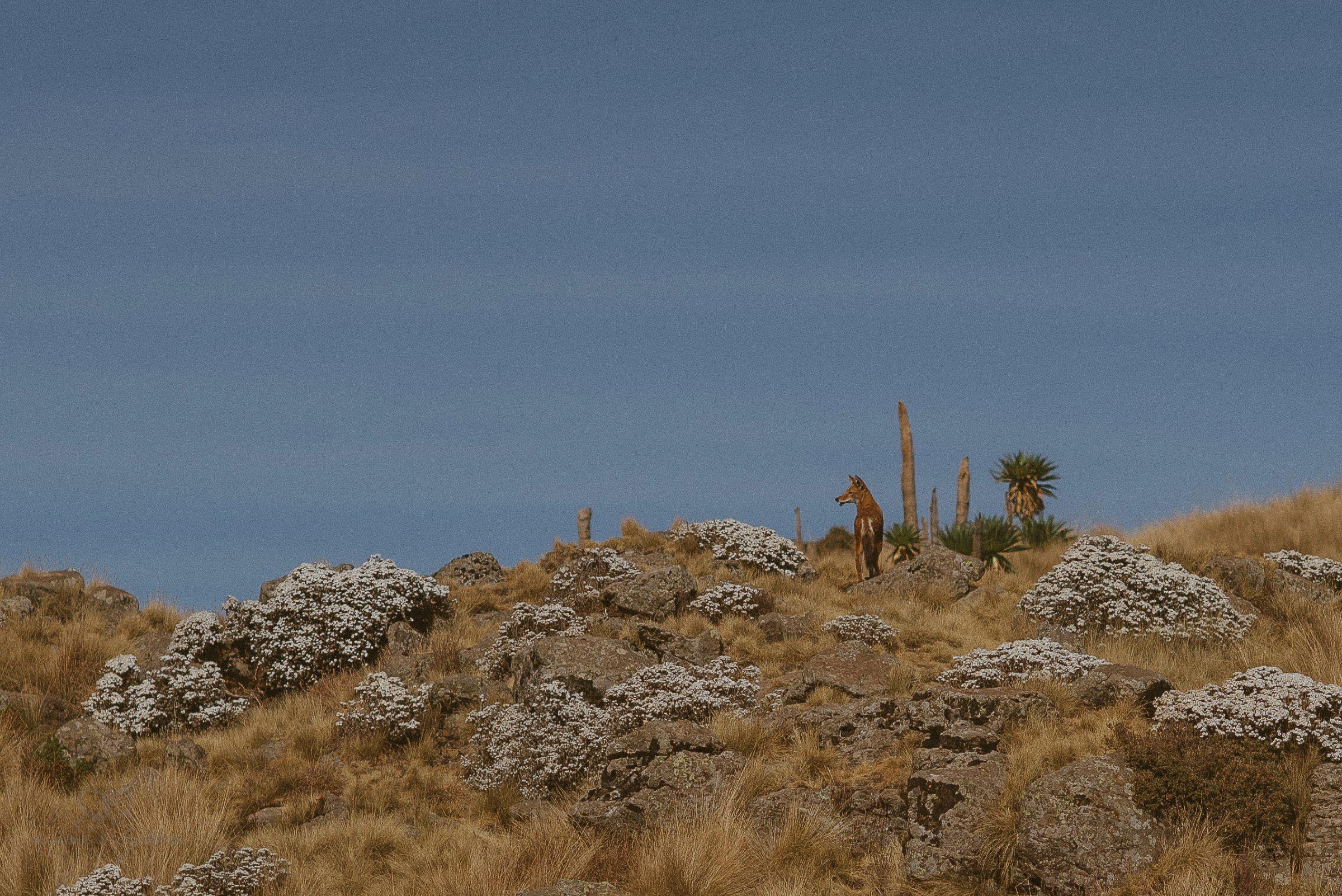 Wüstenhund, Wüstenfuchs, Fuchs, Hund, Simien Berge, Natur