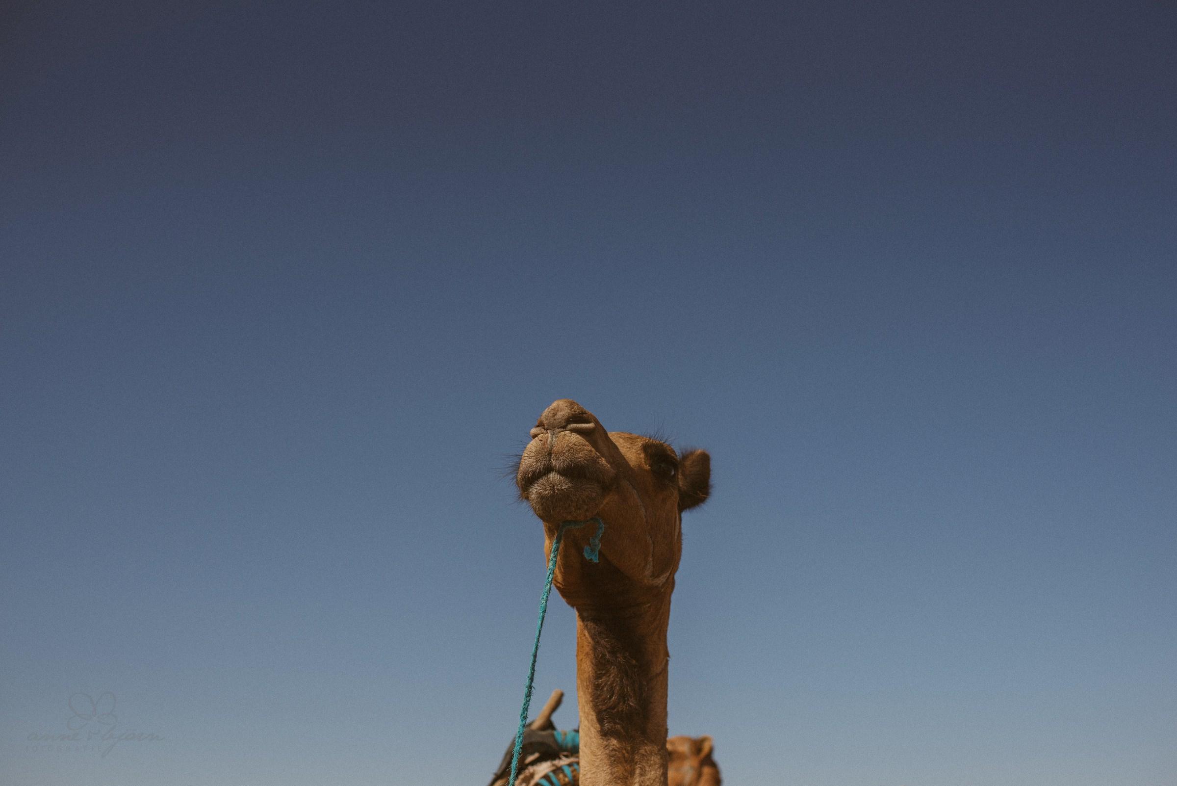 Kamel, Portrait, Nikon D750, 35 mm, Kopf, blau, Himmer, kreativ