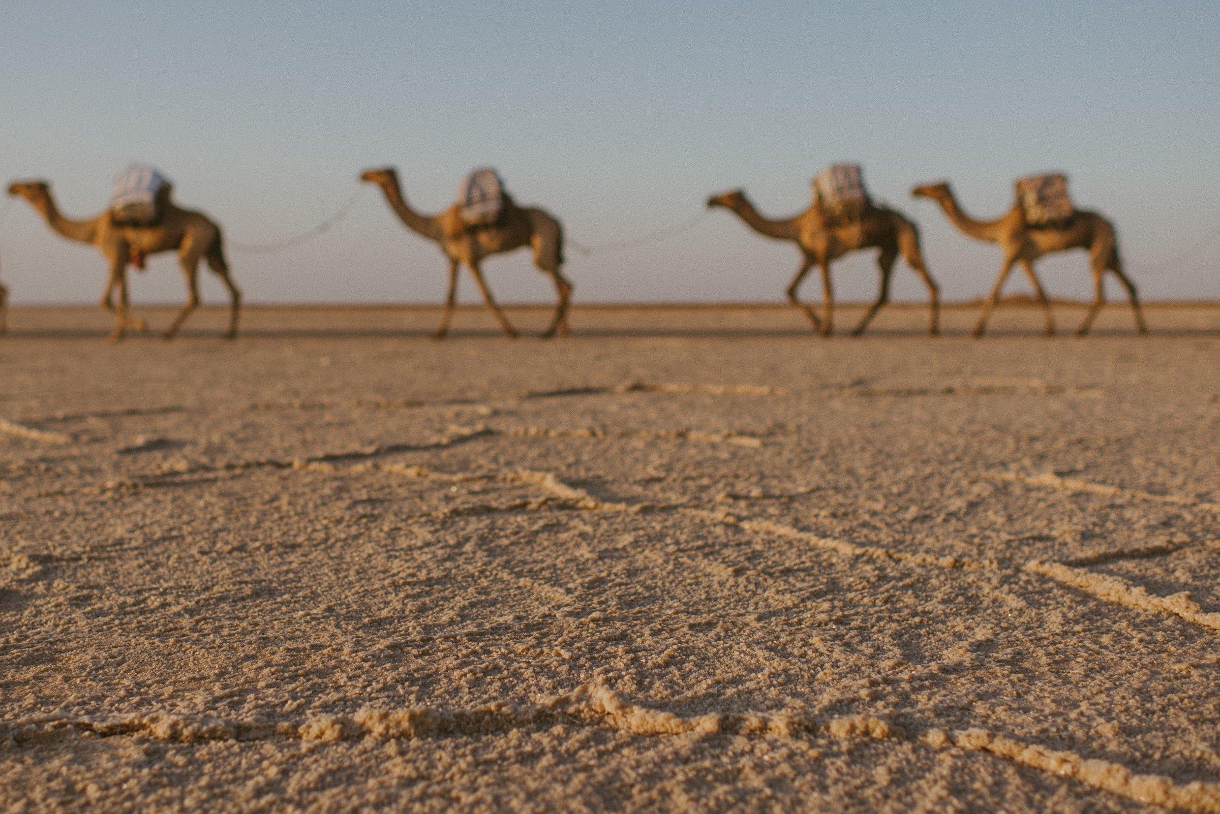 Kamele, Lastentiere, Salzwüste, Danakil Depression